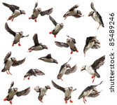 Collection Of Atlantic Puffin...
