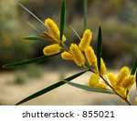 The Golden Wattle Is The...
