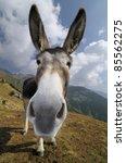 Funny Donkey  Equus Africanus...