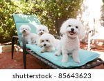 Stock photo beautiful pure breed bichon frise dogs smile as they pose for their portrait while out side on a 85643623