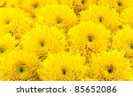 Yellow Chrysanthemum Flowers A...