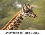 giraffe | Shutterstock . vector #85682068