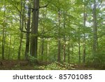 Beech forest - stock photo
