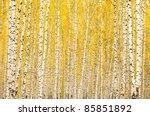 Autumn Birch Forest. October