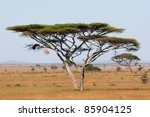 A Large Acacia Thorn Tree In...