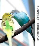 Two Small Budgies Kissing On...