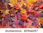 Fall Season Maple Tree Leaves...