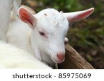 kid goat | Shutterstock . vector #85975069