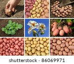 collage of potatoes growing and ... | Shutterstock . vector #86069971