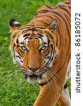 Tiger Staring Gaze