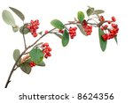 Cotoneaster Branch With Berrie...