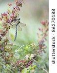 Small photo of Dragonfly Migrant Hawker (Aeshna mixta) - autumnal makro photo