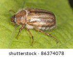 summer chafer  amphimallon... | Shutterstock . vector #86374078