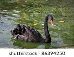 black swan swims on the water | Shutterstock . vector #86394250