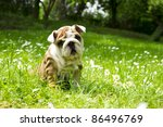 Stock photo cute happy bulldog puppy playing on fresh summer grass 86496769