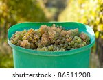 Butt With Fresh Picked Grapes In The Vineyard - stock photo