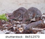 a couple of Greater white-toothed shrew (Crocidura russula) - stock photo