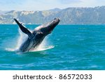 Massive Humpback Whale Playing...