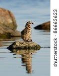 Baby Common Gull