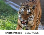 tiger baring teeth | Shutterstock . vector #86674066