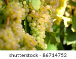 White Bunch of Grapes In The Vineyard - stock photo