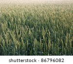 full frame detail of a green wheat field at evening time - stock photo