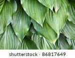 hosta leaves | Shutterstock . vector #86817649