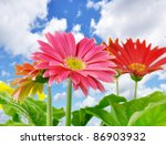 Daisy Flowers Close Up Over A...