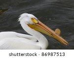 American White Pelican Close U...