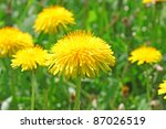 Yellow Dandelion Flowers With...