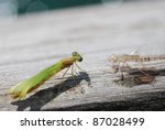 green dragon fly after shedding ... | Shutterstock . vector #87028499