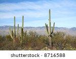 Постер, плакат: Giant Saguaro cacti at