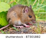 Wood mouse sitting on log sideview - stock photo