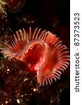Small photo of Red Tube Worm (Serpula vermicularis) in Sesimbra, Portugal