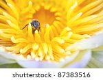 Bee On Lotus As Background