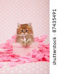 Stock photo golden chinchilla kitten on pink gift box with rose petals 87435491