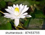 White Pettal Of The Lotus...