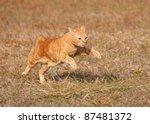 Stock photo orange tabby cat running across autumn grass field in high speed 87481372