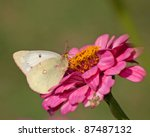 Clouded Sulphur Butterfly...