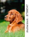 Young Irish Setter Dog Puppy 4...