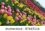 Tulips Garden In Australia ...