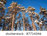 pine trees on a cold clear winter day - stock photo