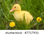 Little Yellow Duckling On The...
