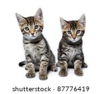 Stock photo kittens of the metis breed bengal maine coon age month 87776419