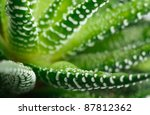 Close-up of the healing plant Aloe Vera - stock photo