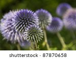 Echinop Flowers Close Up