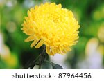 Yellow Autumn Chrysanthemum In...