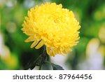 Yellow Autumn Chrysanthemum In...