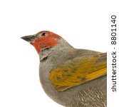Small photo of Red-headed Finch - Amadina erythrocephala in front of a white background