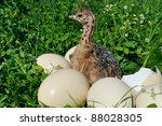 Ostrich Chick With Eggs
